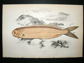 Couch: 1867 Antique Fish Print. Cornish Centrolophus